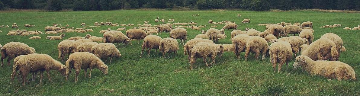 گوسفند زنده | دام زنده در تهران  |قیمت گوسفند زنده